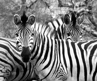 Zebras Twins on Safari